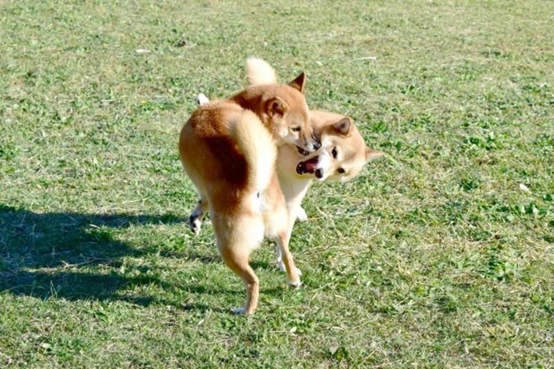 子犬 マウンティング