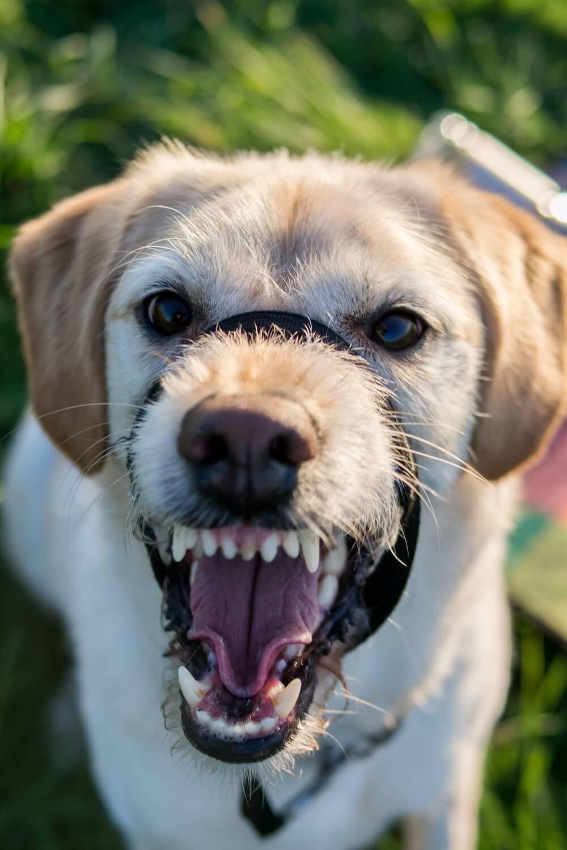 犬が怒るのはなぜ?理由や対処法を知ろう! | ALPHAICON [アルファ ...