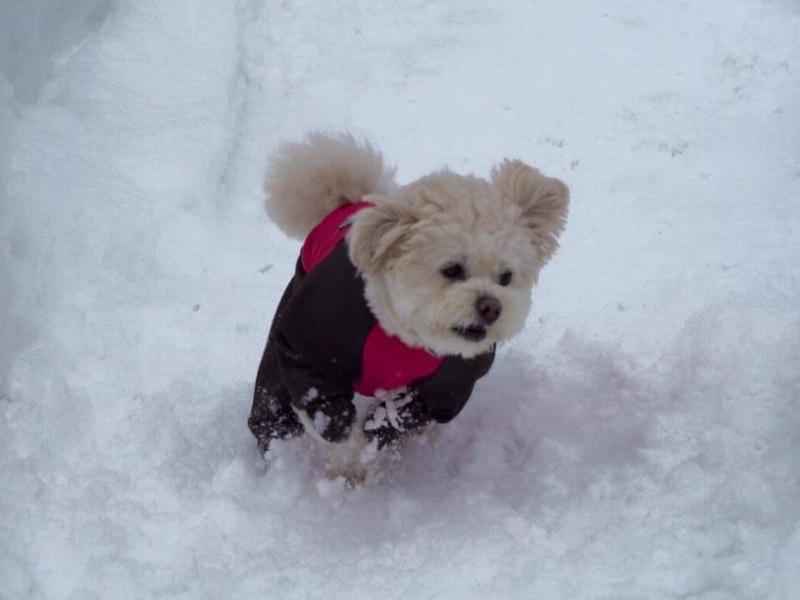 Resultado de imagen para maltese 犬 雪の中を歩く
